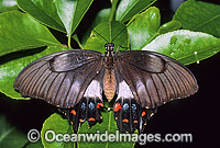 Orchard Swallowtail Butterfly Papilio aegeus Photo - Gary Bell
