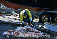 Fisherman with dead Sharks Photo - Gary Bell