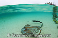 Cowtail Stingray Pastinachus sephen Photo - Gary Bell