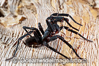 Burrowing Spider Xamiatus kia Photo - Gary Bell