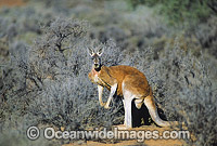 Red Kangaroo at Kinchega National Park Photo - Gary Bell