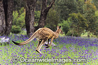 Eastern Grey Kangaroo hopping through flowers Photo - Gary Bell