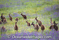 Eastern Grey Kangaroo mob feeding Photo - Gary Bell