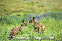 Eastern Grey Kangaroos amongst wild flowers Photo - Gary Bell