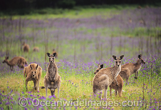Eastern Grey Kangaroo (Macropus giganteus), mob feeding amongst flowering Paterson's Curse. Warrumbungle National Park, New South Wales, Australia. Photo - Gary Bell