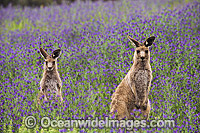 Eastern Grey Kangaroo pair amongst wildflowers Photo - Gary Bell
