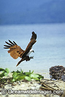 White-bellied Sea Eagle photo