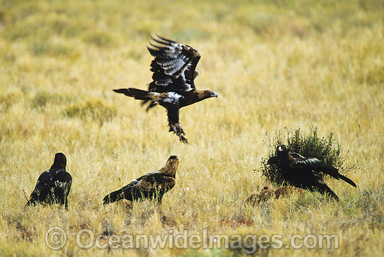 Wedge-tailed Eagles (Aquila audax) feeding on a Red Kangaroo carcass. Photo taken in Central Australia. Photo - Gary Bell