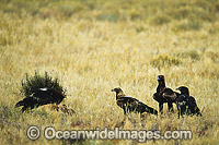 Wedge-tailed Eagle and Ravens feeding on Kangaroo carcass
