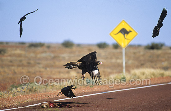 Wedge-tailed Eagles (Aquila audax) and Australian Raven (Corvus coronoides), feeding on a Kangaroo carcass on a highway after killed by a vehicle. Photo taken in Central Australia. Photo - Gary Bell