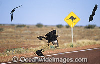 Wedge-tailed Eagle and Ravens feeding on roadkill