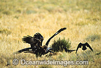 Wedge-tailed Eagle and Ravens feeding on carcass photo