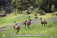 Flock of Emus in Australia Photo - Gary Bell