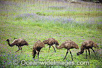 Emus at Warrenbungles National Park Photo - Gary Bell