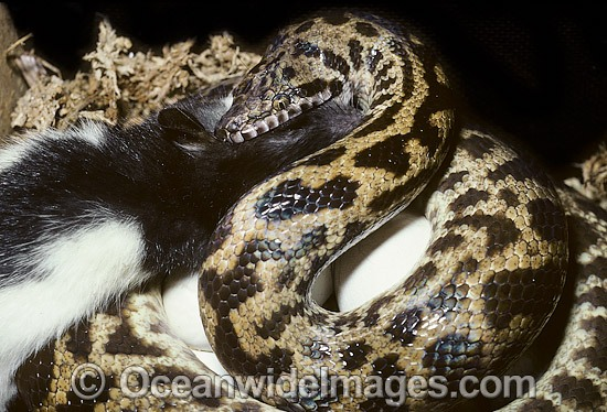 Stimson's Python (Antaresia stimsoni), captive snake feeding on a rat whilst sitting on a cluster of eggs. Found throughout Australia, except the far north and extreme south/south-east. Photo - Gary Bell
