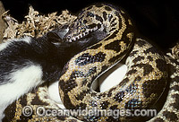 Stimson's Python feeding on rat whilst on eggs Photo - Gary Bell