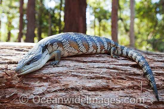 Eastern Blue-tongue Lizard (Tiliqua scincoides). Found in a wide variety of habitats from south-eastern SA, Vic, eastern NSW, Qld and NT. Photo was taken in the Boambee State Forest, near Coffs Harbour, NSW, Australia. Photo - Gary Bell