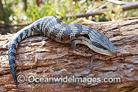 Eastern Blue-tongue Lizard photo