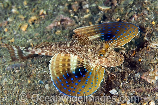 Blue Spotted Sea Robin Prionotus roseus photo