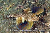 Blue Spotted Sea Robin Prionotus roseus Photo - Michael Patrick O'Neill