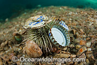 Sea Urchin with rubbish attached