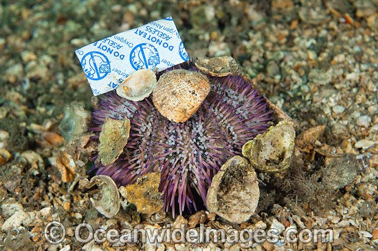 Sea Urchin (Lytechinus variegatus), with discarded bottle tops and other rubbish attached. Photo taken in Lake Worth Lagoon, Singer Island, Florida, USA. Photo - Michael Patrick O'Neill