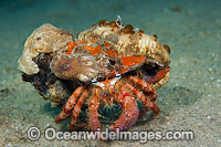 Bar-Eyed Hermit Crab with sea Anemones Photo - Michael Patrick O'Neill
