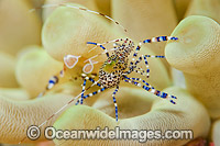 Cleaner Shrimp on Sea Anemone photo