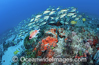 Reef Scene and schooling Cottonwicks photo
