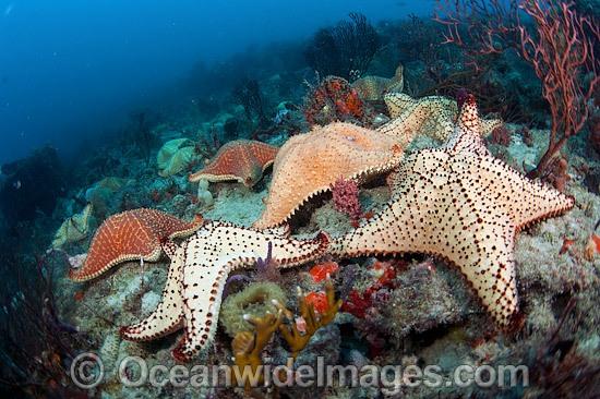 Cushion Sea Stars Photo
