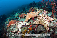 Cushion Sea Stars photo
