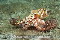 Caribbean Long Arm Octopus photo
