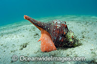 Horse Conch Photo - Michael Patrick O'Neill