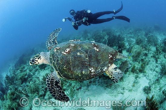Scuba diver observing a Hawksbill Sea Turtle (Eretmochelys imbricata). Palm Beach, Florida, USA. Found in tropical and warm temperate seas worldwide. Rare. Classified Critically Endangered species on the IUCN Red List.