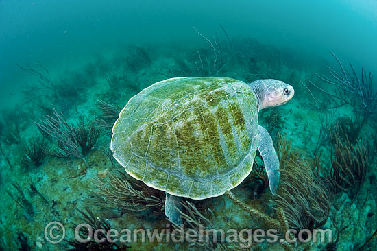 Kemp's Ridley Sea Turtle, (Lepidochelys kempii). Palm Beach, Florida, USA. Also known as Atlantic Ridley and Gulf Ridley. The most severely endangered marine turtle in the world. Listed on the IUCN Red list as Critically Endangered species. Photo - Michael Patrick O'Neill