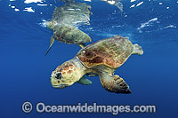 Loggerhead Sea Turtle male and female Photo - Michael Patrick O'Neill