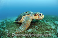 Loggerhead Sea Turtle resting on sea floor Photo - Michael Patrick O'Neill