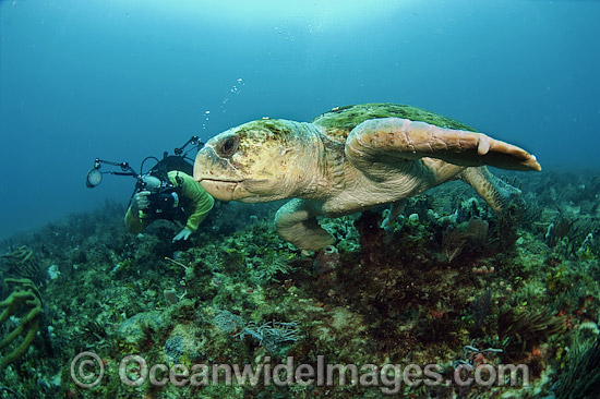 Scuba diver observing a Loggerhead Sea Turtle (Caretta caretta). Palm Beach, Florida, USA. Found in tropical and warm temperate seas worldwide. Endangered species listed on IUCN Red list.