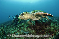Scuba Diver and Loggerhead Sea Turtle Photo - Michael Patrick O'Neill