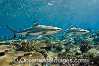 Blacktip Reef Shark Fiji Photo - Michael Patrick O'Neill