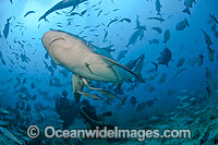 Bull Shark and Scuba Diver Fiji photo