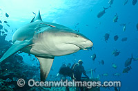 Bull Shark Photo - Michael Patrick O'Neill