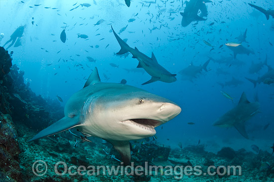 Bull Shark (Carcharhinus leucas). Also known as River Whaler, Freshwater Whaler and Swan River Whaler. Photo taken at Shark Reef Marine Reserve, Viti Levu, Fiji. Found worldwide in tropical & warm temperate seas, penetrating freshwater for long periods. Photo - Michael Patrick O'Neill