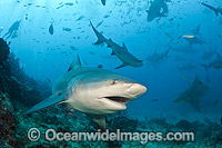 Bull Shark Fiji photo