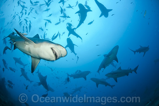 Bull Shark (Carcharhinus leucas). Also known as River Whaler, Freshwater Whaler and Swan River Whaler. Photo taken Shark Reef Marine Reserve, Viti Levu, Fiji. Found worldwide in tropical & warm temperate seas, penetrating freshwater for long periods.