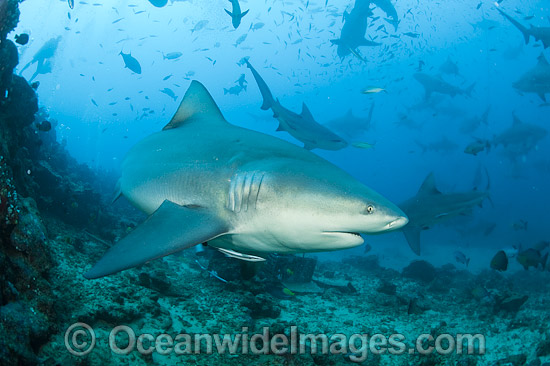 Bull Shark (Carcharhinus leucas). Also known as River Whaler, Freshwater Whaler and Swan River Whaler. Photo taken at Shark Reef Marine Reserve, Viti Levu, Fiji. Found worldwide in tropical & warm temperate seas, penetrating freshwater for long periods.