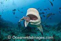 Scuba Diver feeding Bull Shark photo