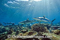 Gray Reef and Whitetip Sharks Photo - Michael Patrick O'Neill