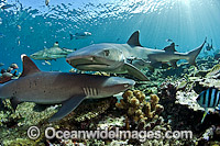 Whitetip Reef Sharks Photo - Michael Patrick O'Neill