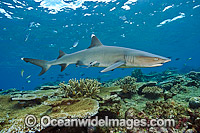 Whitetip Reef Shark Photo - Michael Patrick O'Neill